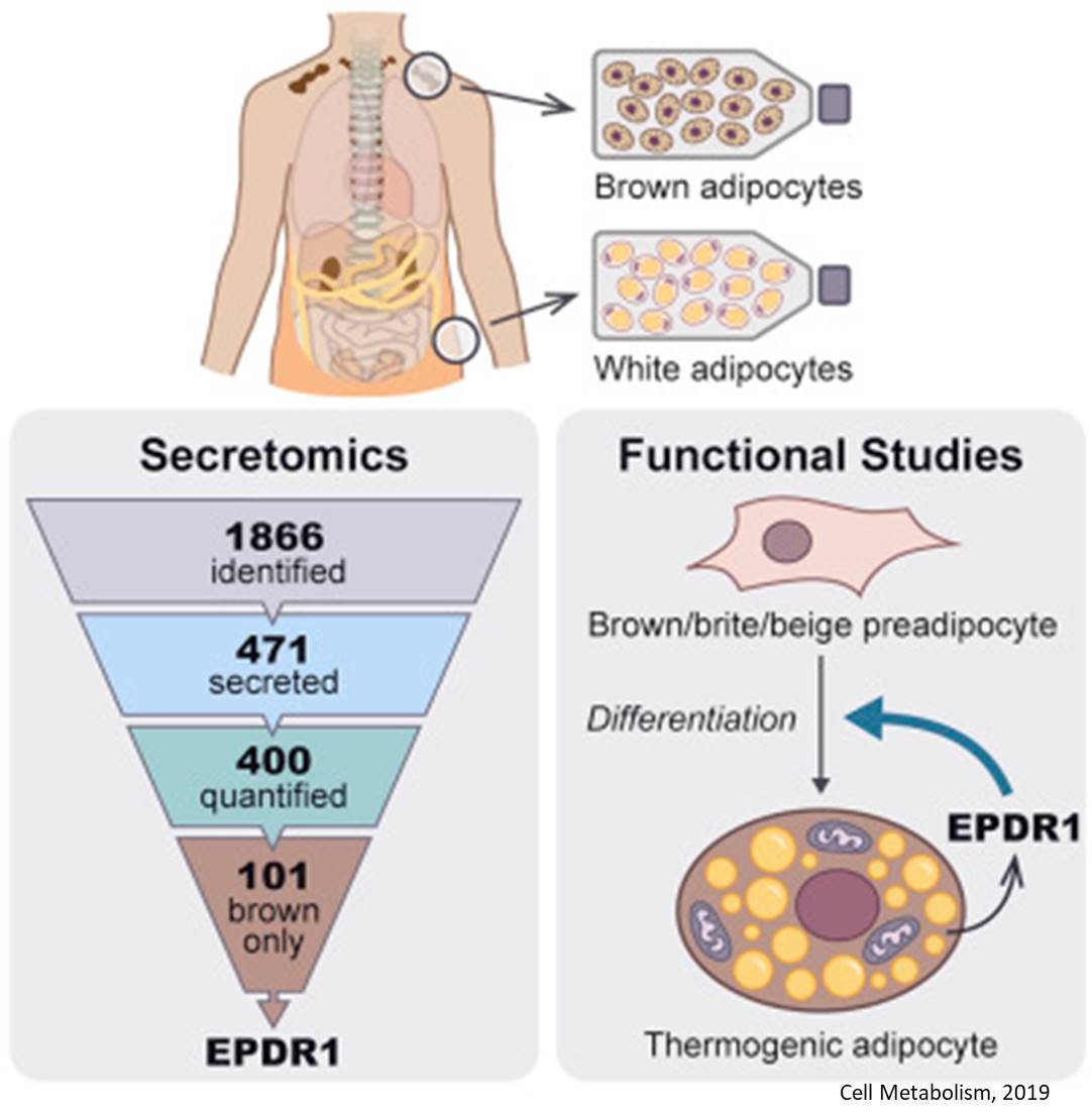 Secretomes of human brown and white fat