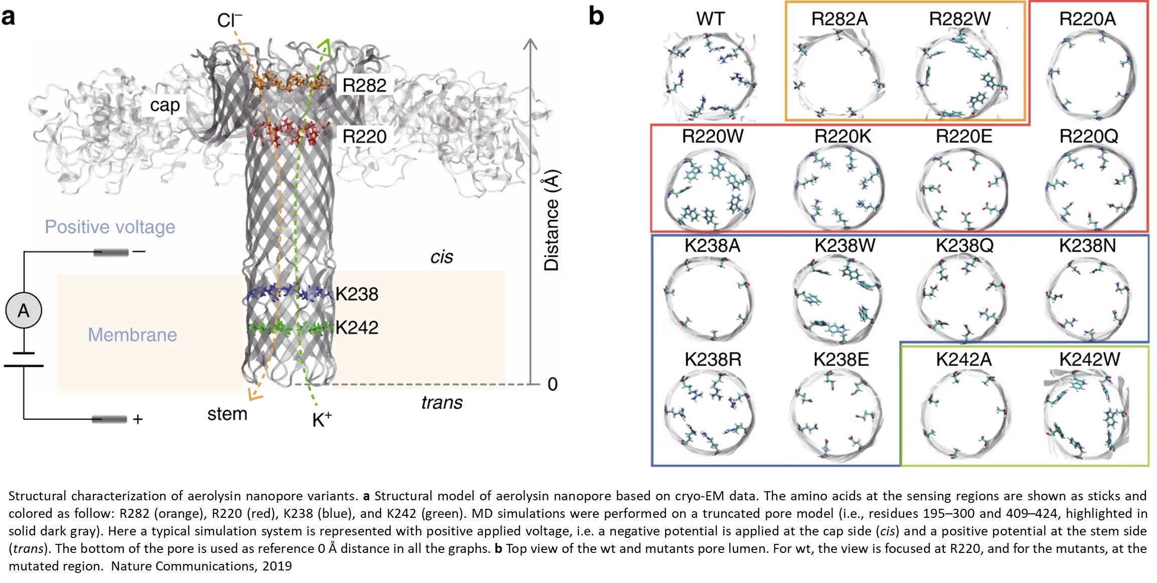 Structural determinants of bacterial toxin nanopore in single molecule sensing of peptides and nucleic acids