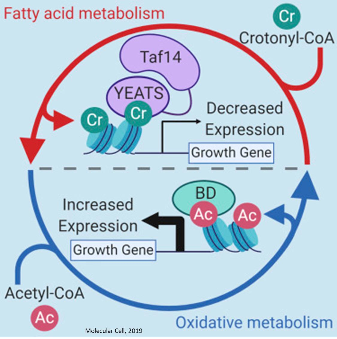Cell adaptation to nutrients is controlled through histone crtonylation