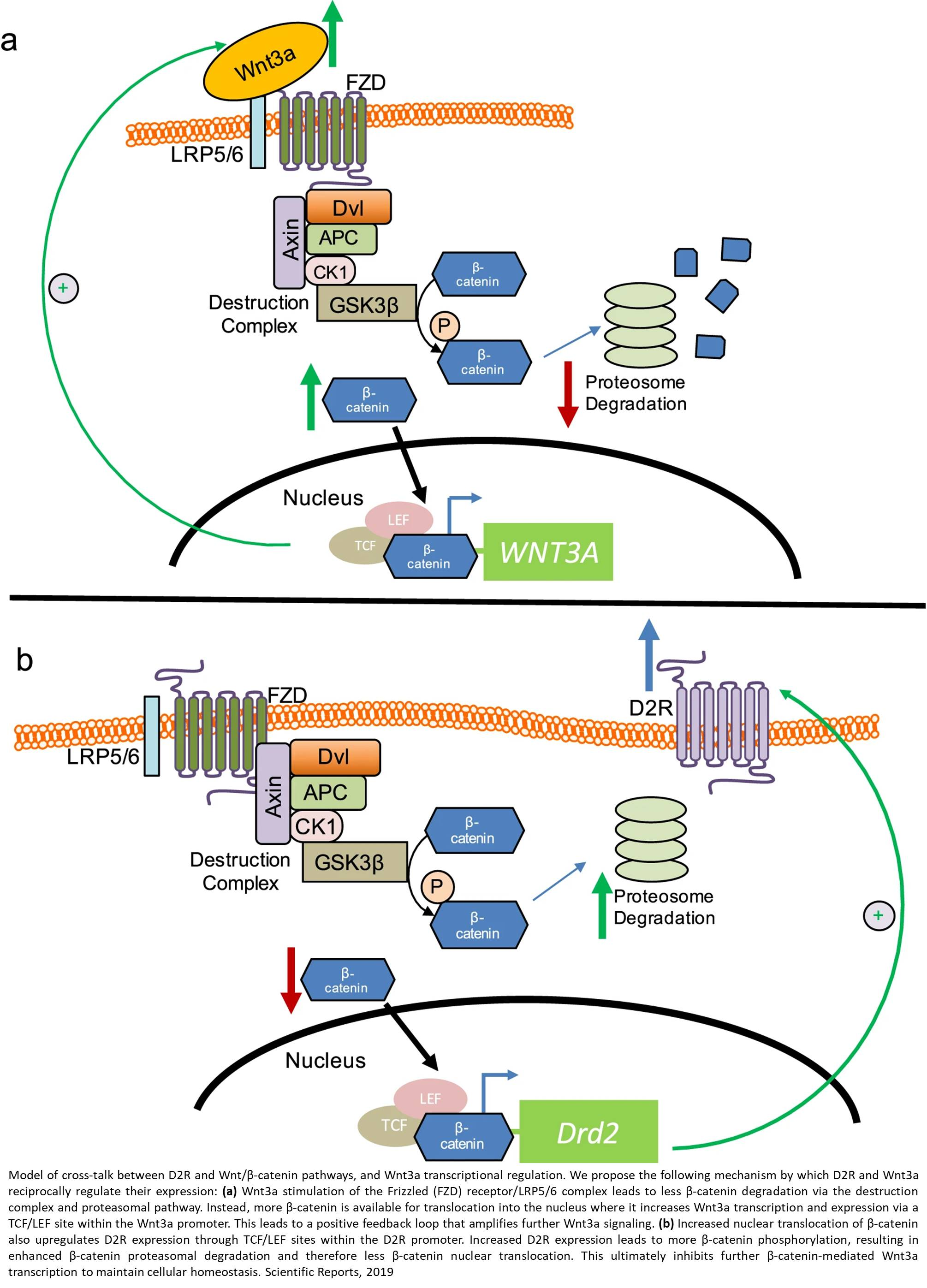 A new role for dopamine in gene transcription and cell proliferation