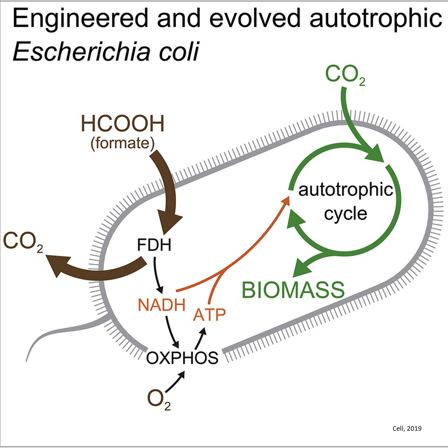 Modifying bacteria to consume CO2