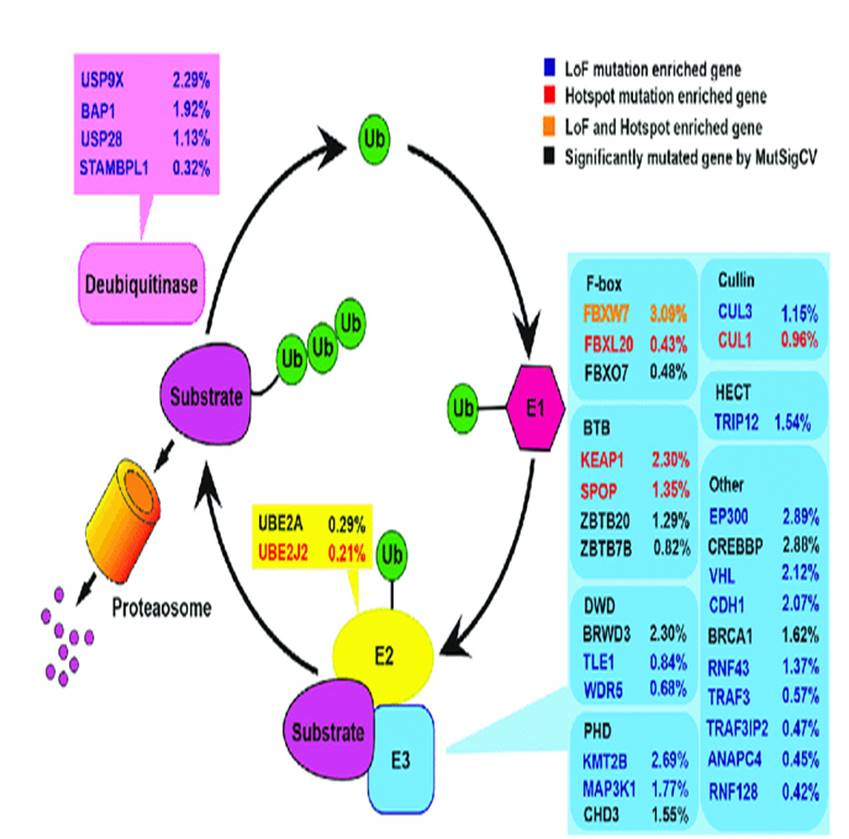 How altered protein degradation contributes to the development of tumors
