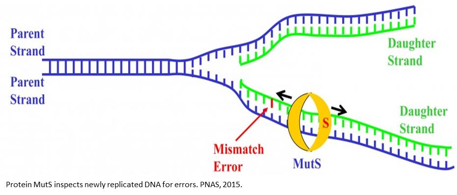 New insight into the DNA repair mechanism