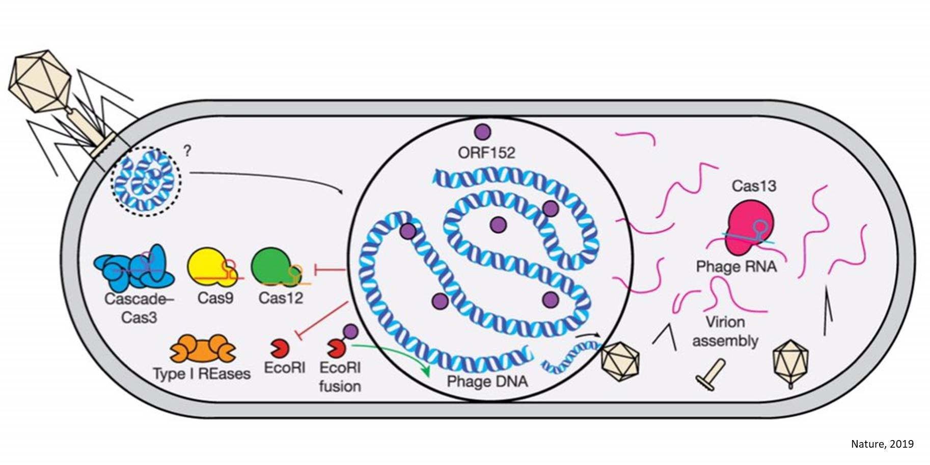 Viruses protect themselves from CRISPR attack by building safe rooms inside bacteria