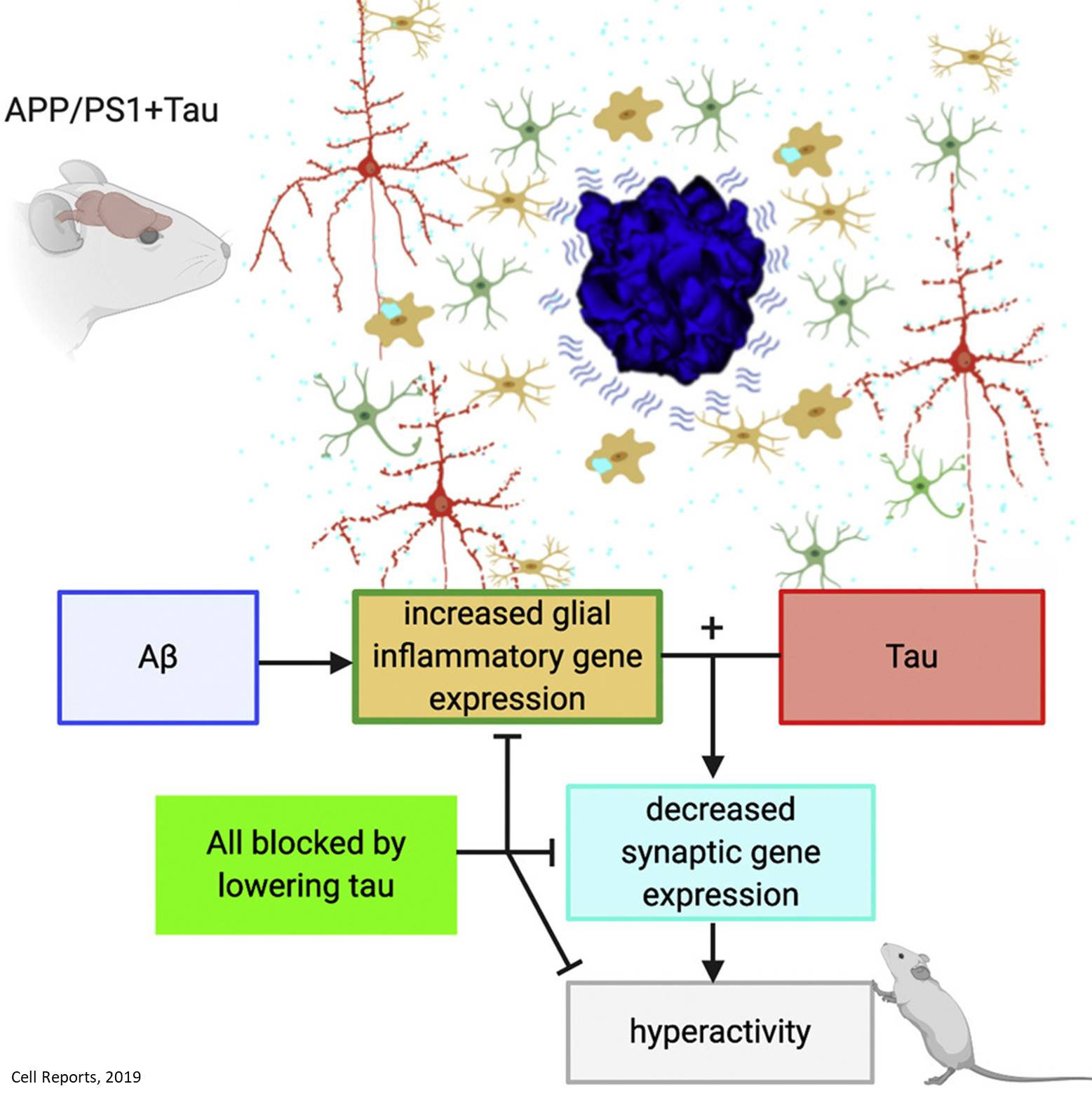 Tau and amyloid team up to damage synapses!