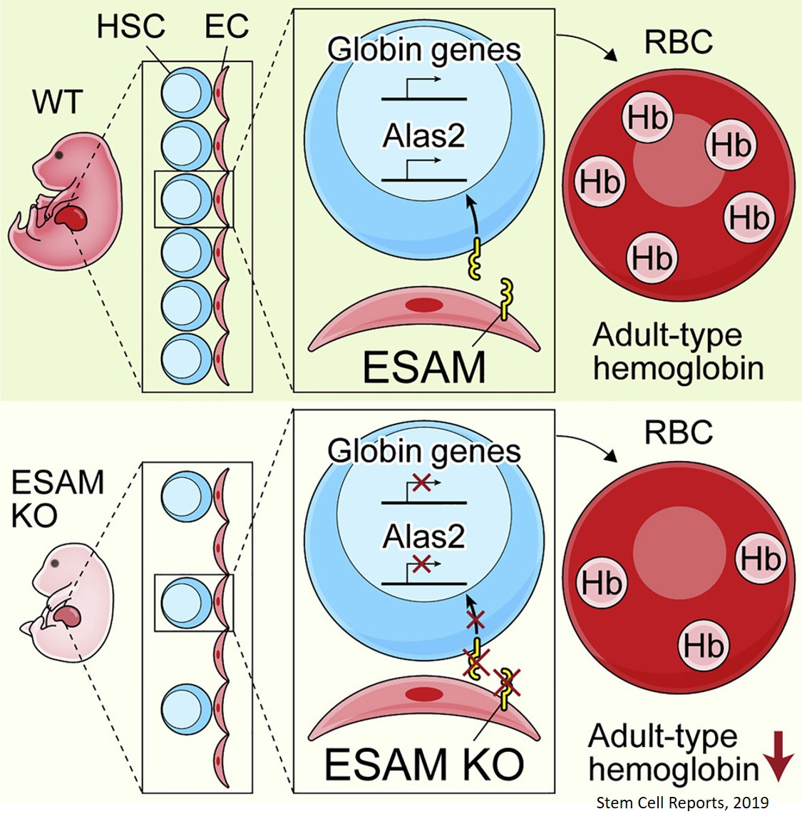 A key stem cell marker and its role in hematopoiesis