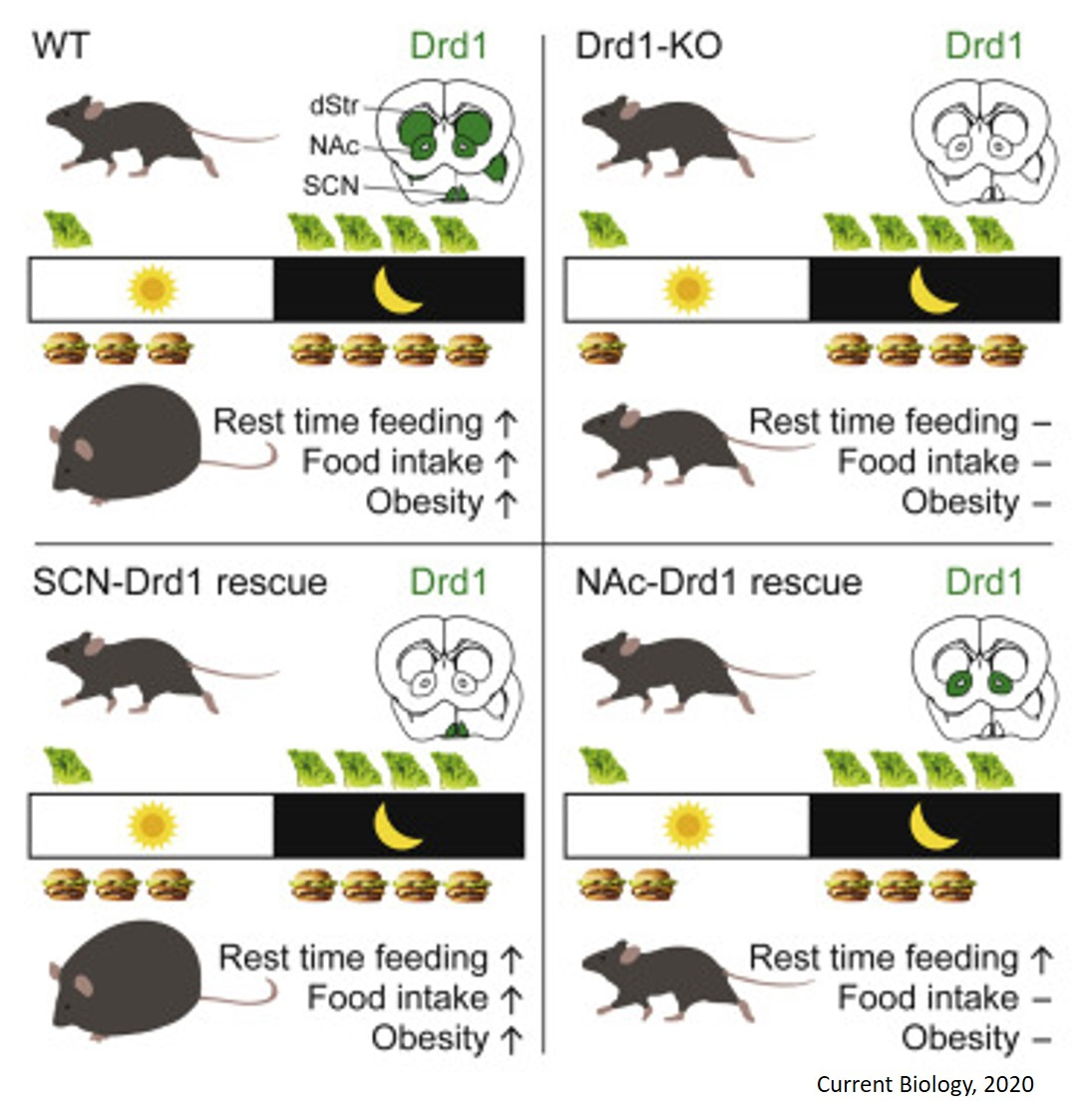 Linking dopamine reward system with circadian clock in overeating and obesity