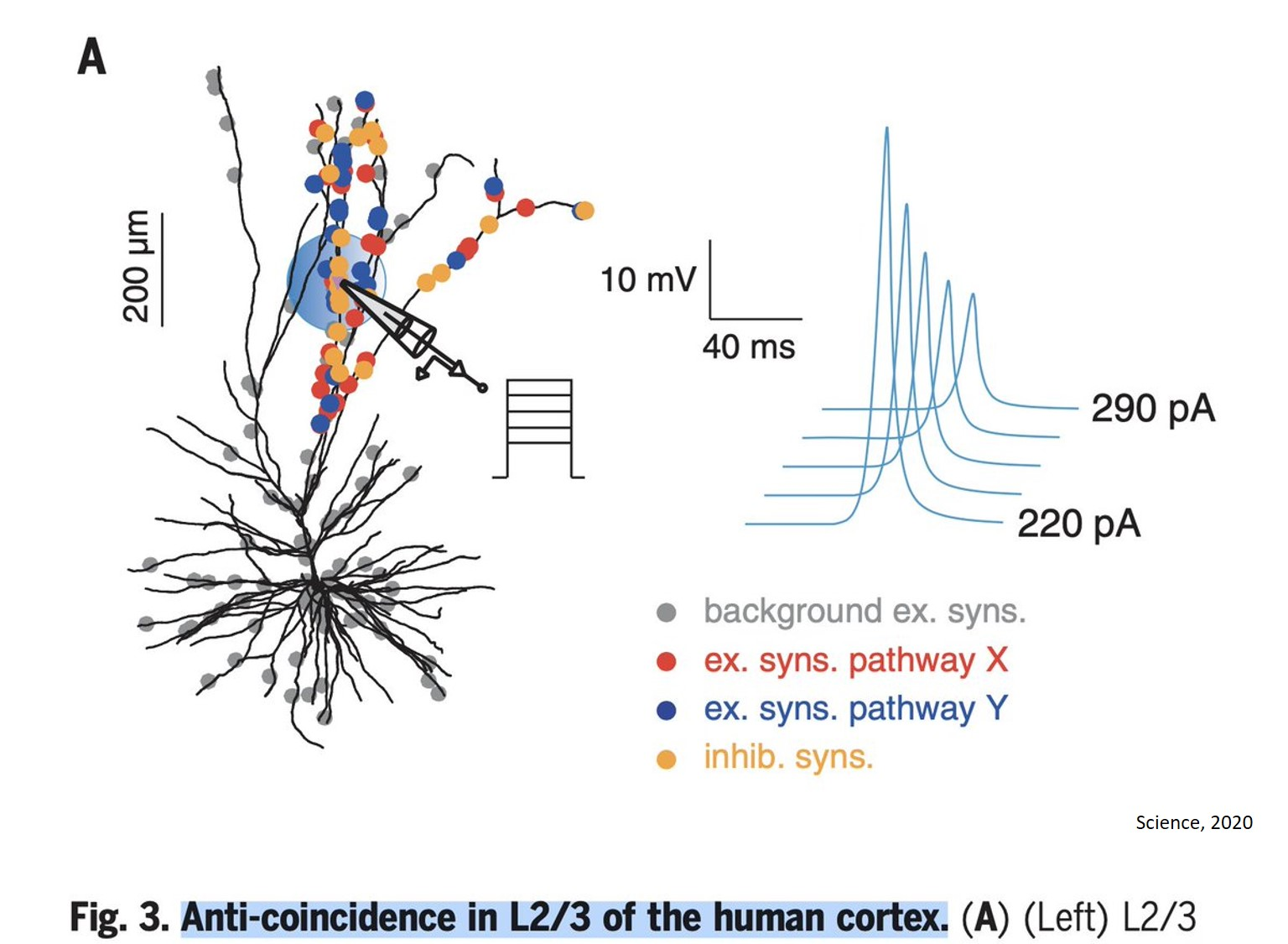 Human brain dendritic action potentials and computational capacity identified!