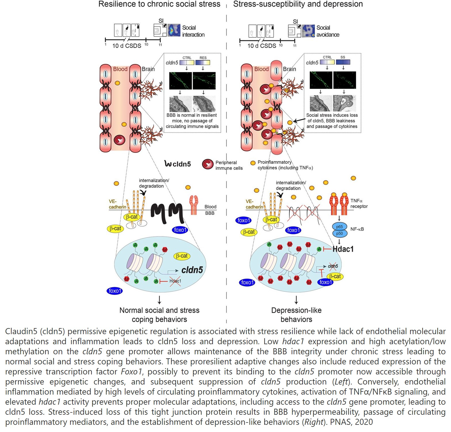 Blood-brain barrier restoration is necessary for the treatment of depression