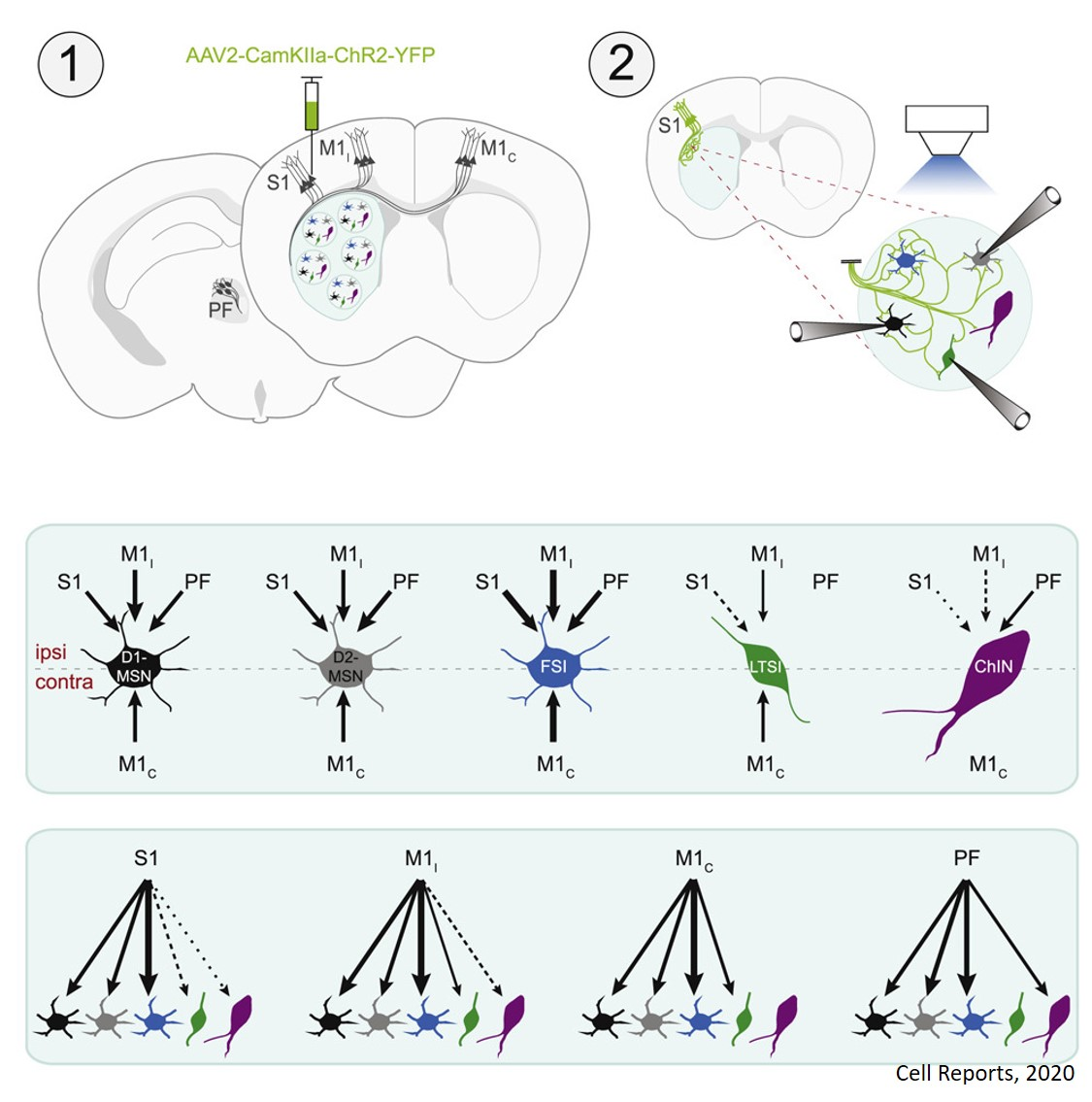 How different brain cell types contribute to our movements