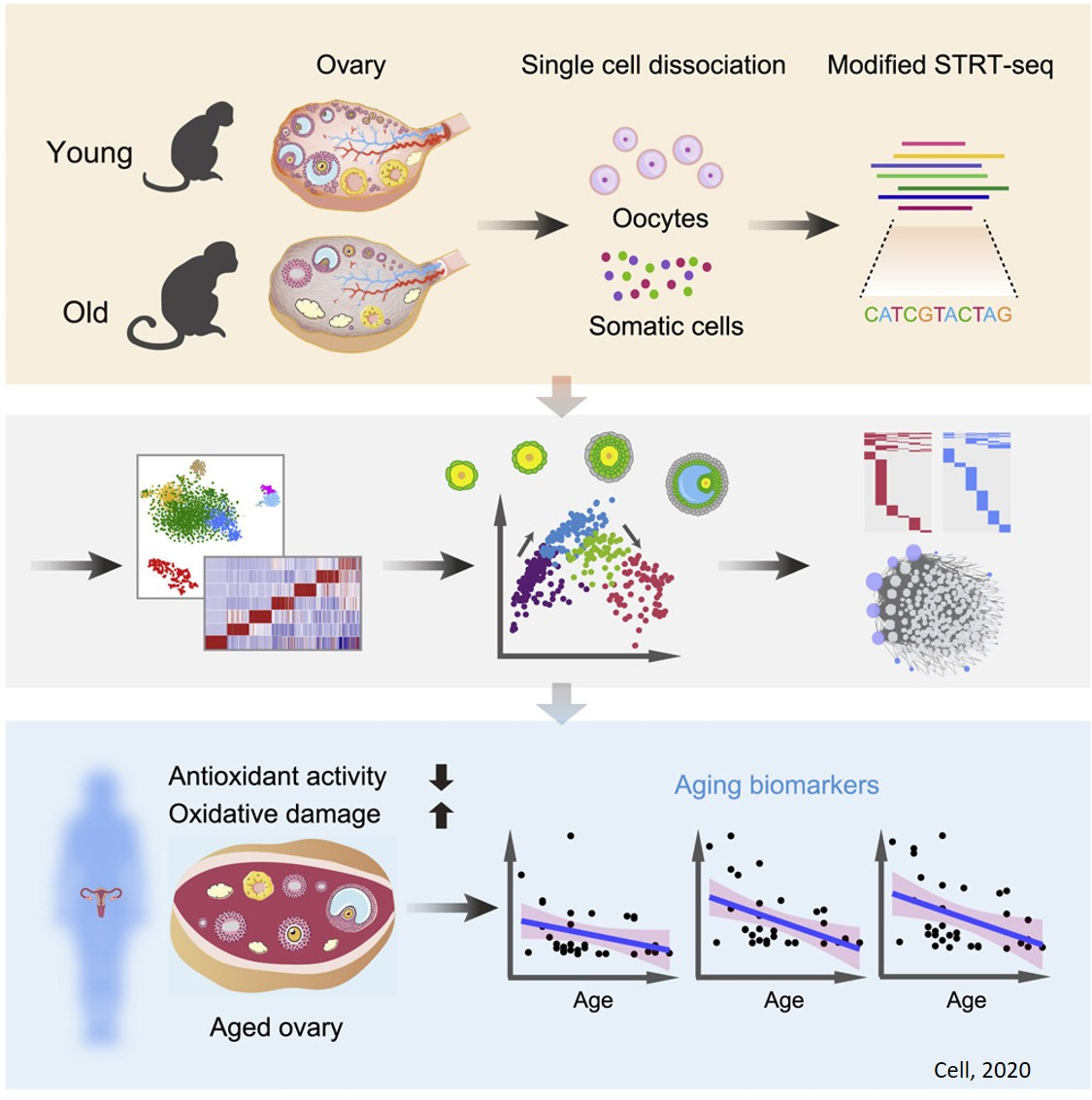 A single cell transcriptomics provide clues to ovarian aging