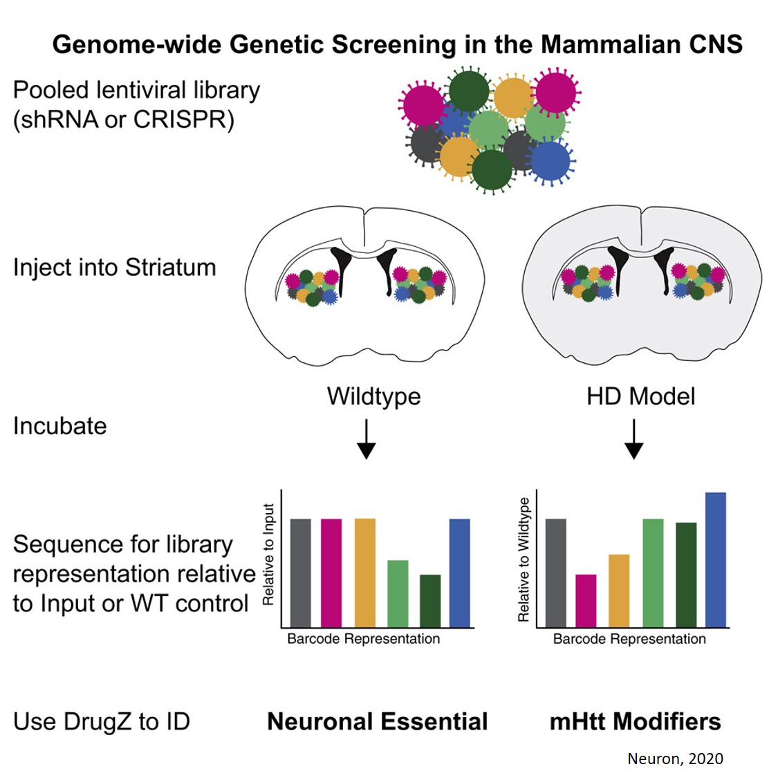 Genetic screen identifies genes that modulate Huntington disease's toxic effects