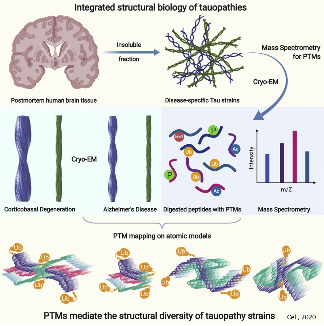 Posttranslational Modifications Mediate the Structural Diversity of Tauopathies