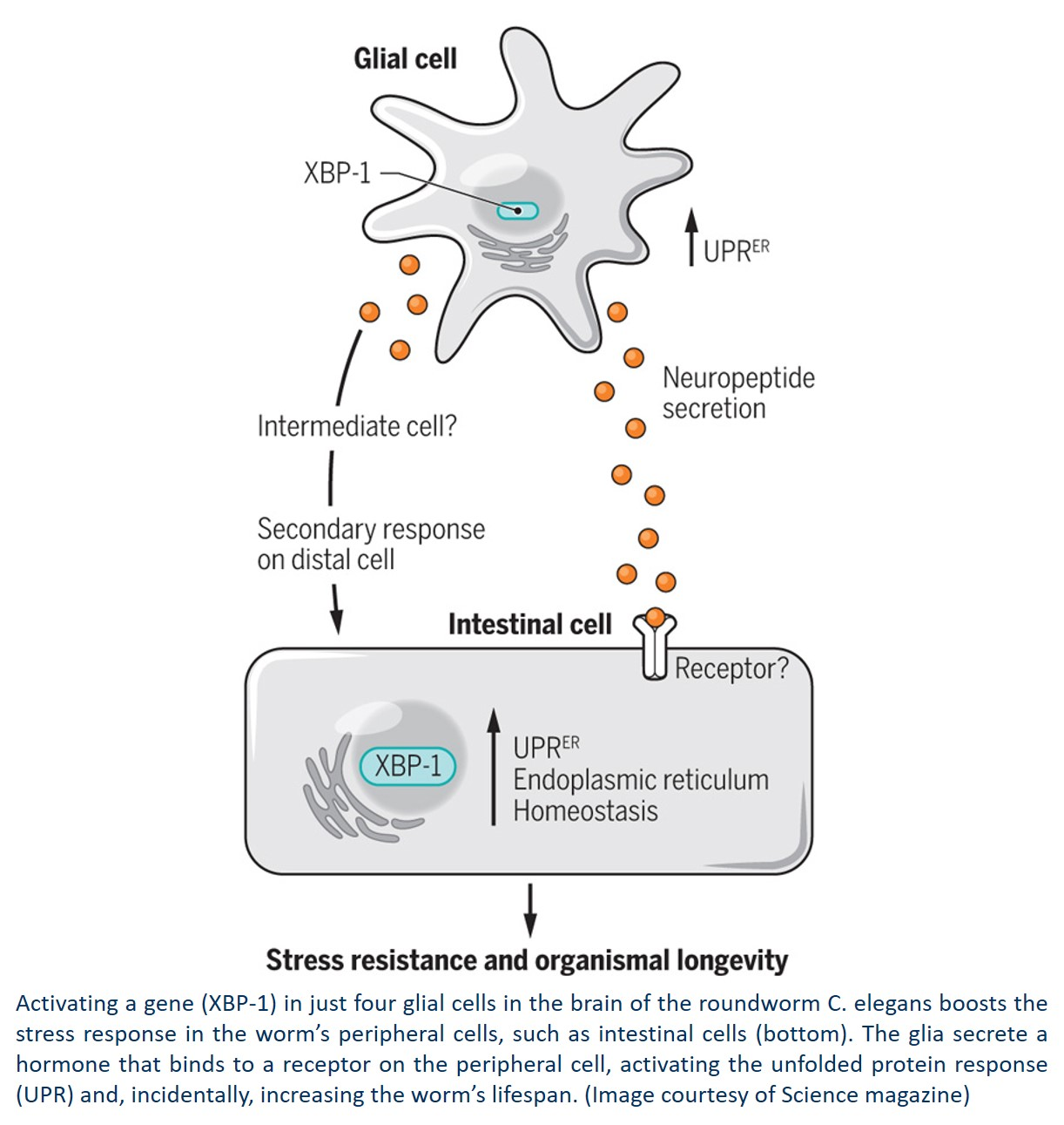 Glial cells control the stress response and increase the lifespan