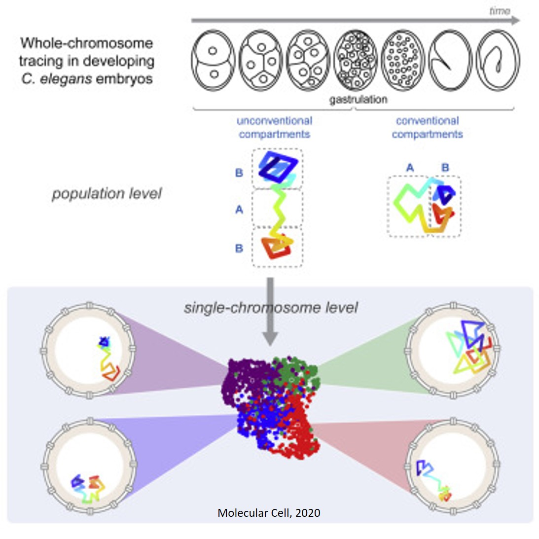 Reorganization of the genome during development