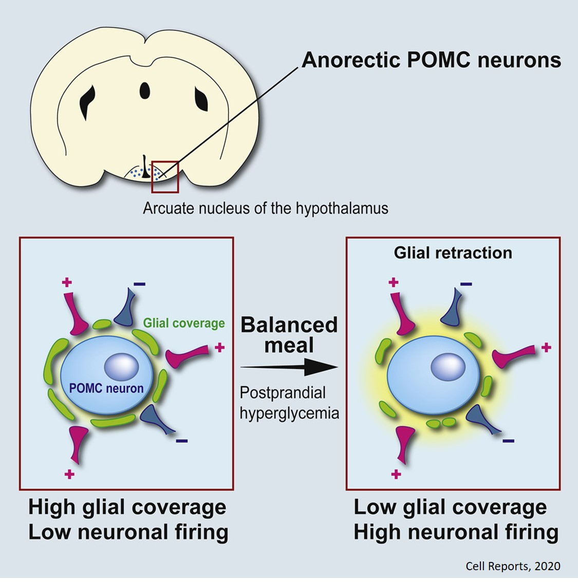 The glial role in feeling satiety after a meal