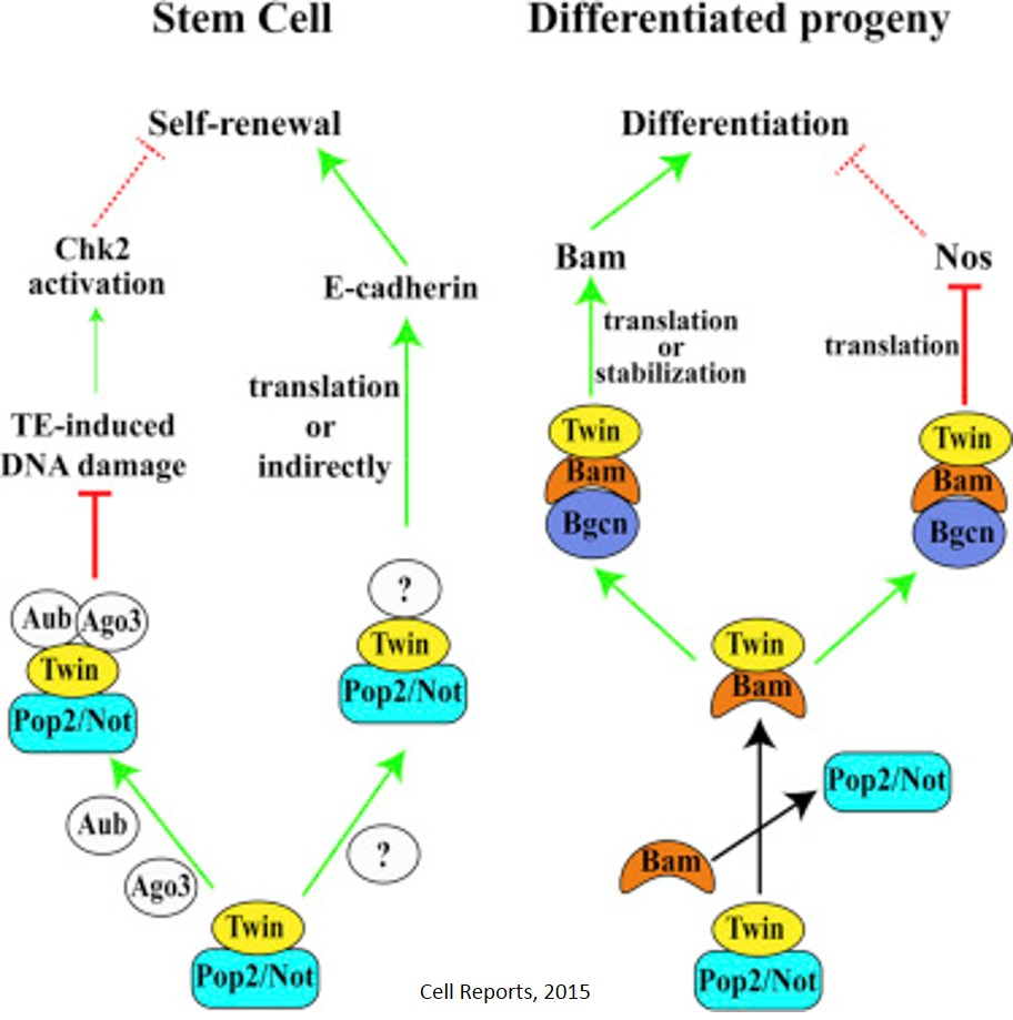 Same protein controls both proliferation and differentiation of stem cells