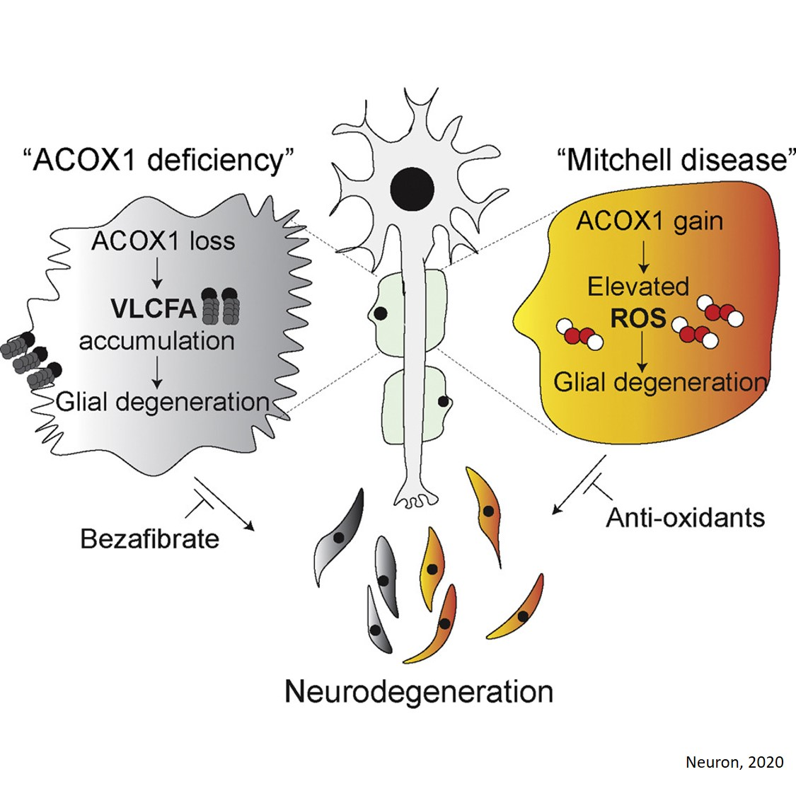 Loss- or Gain-of-Function Mutations in a Gene Cause Neurodegeneration!