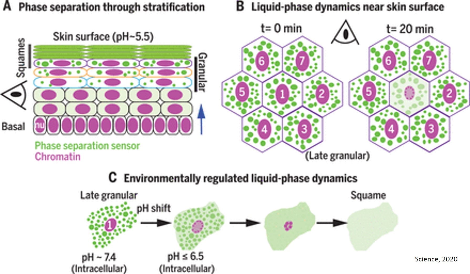 Liquid-liquid phase separation drives skin barrier formation