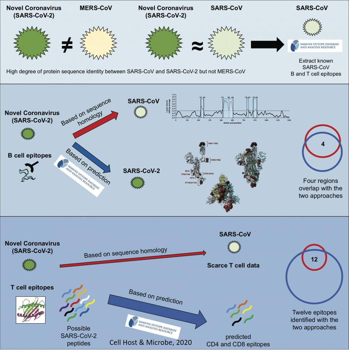 Identifying potential targets for immune responses to novel coronavirus