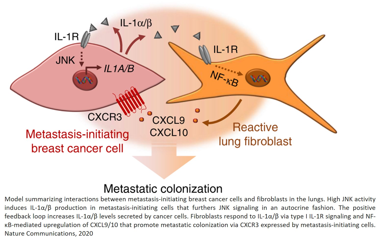 In order to colonize other organs and grow into metastases, tumor cells that detach from the parent tumor need to manipulate their new microenvironment and create a 'metastatic niche'. Scientists have now discovered that some cancer cells stimulate connec