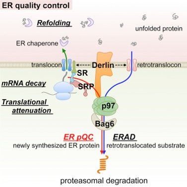 Quality Control Protects the ER from Protein Overload