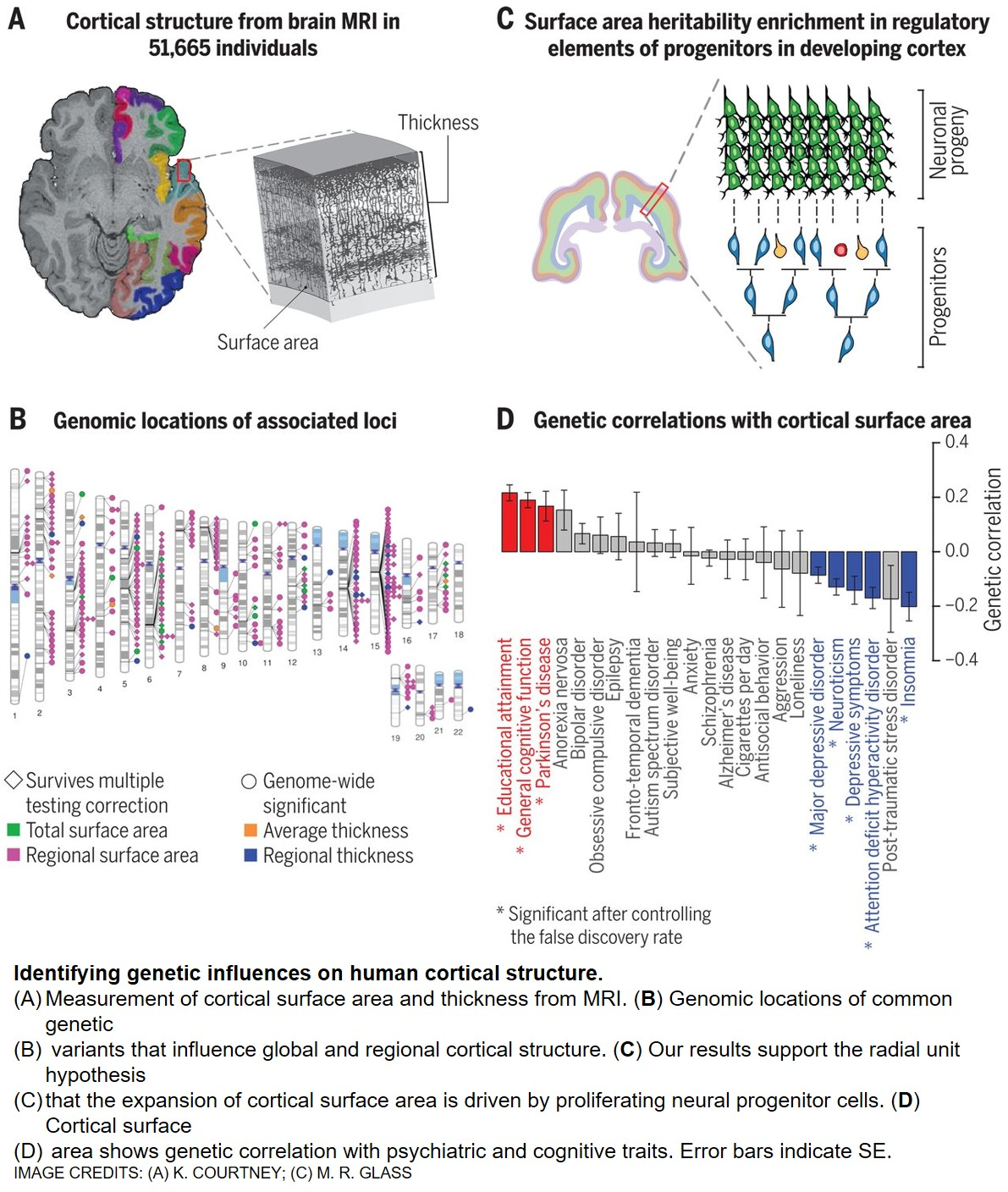 Genetic architecture of the human gray matter