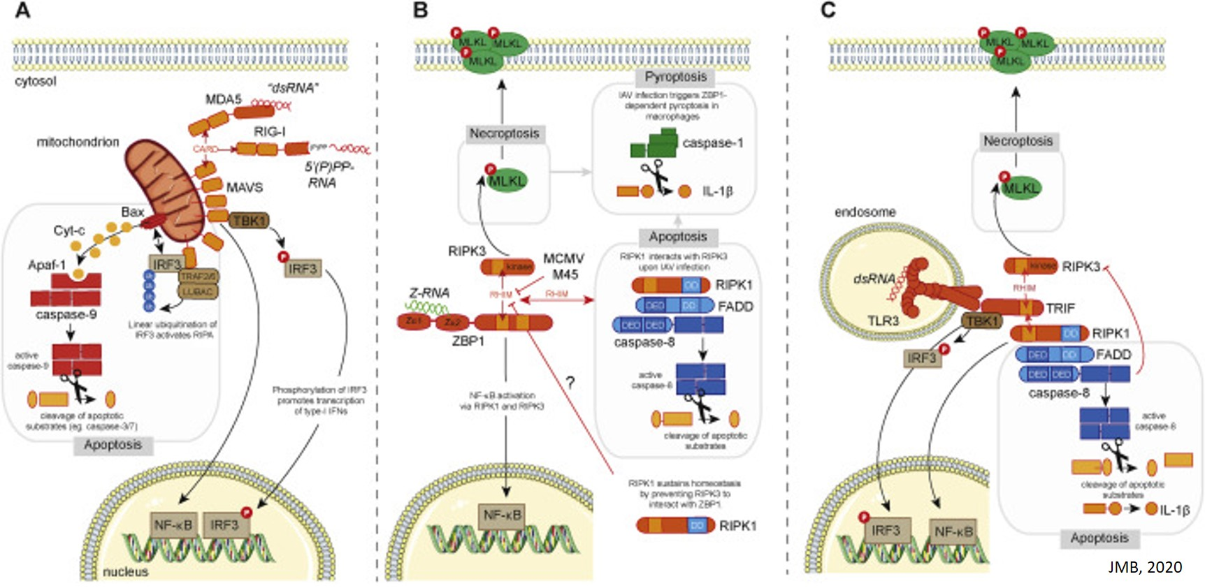 A mechanism for Z-DNA mediated cell death and inflammation