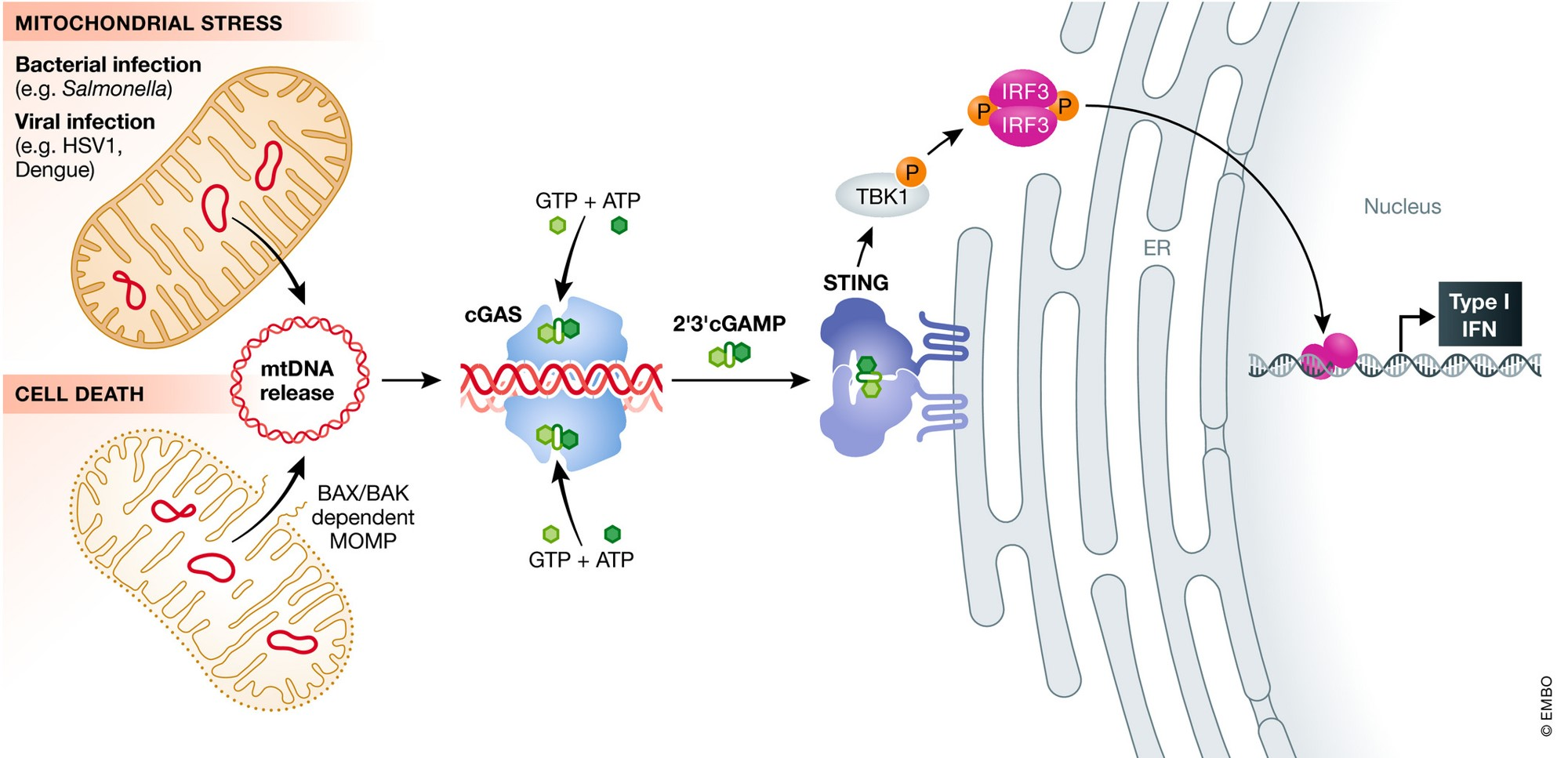 Tumors hijack the cell death pathway to escape radiation induced immune onslaught