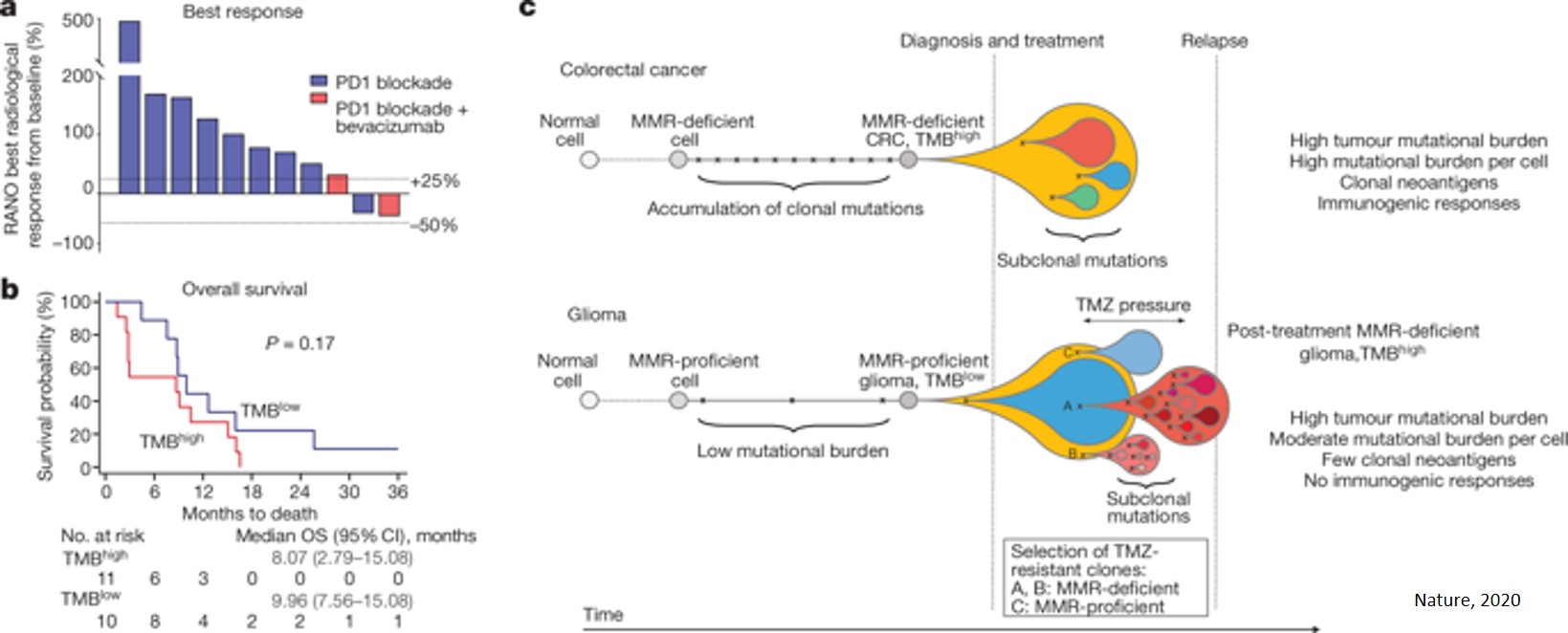 How 'hypermutated' malignant brain tumors escape chemotherapy and immunotherapy