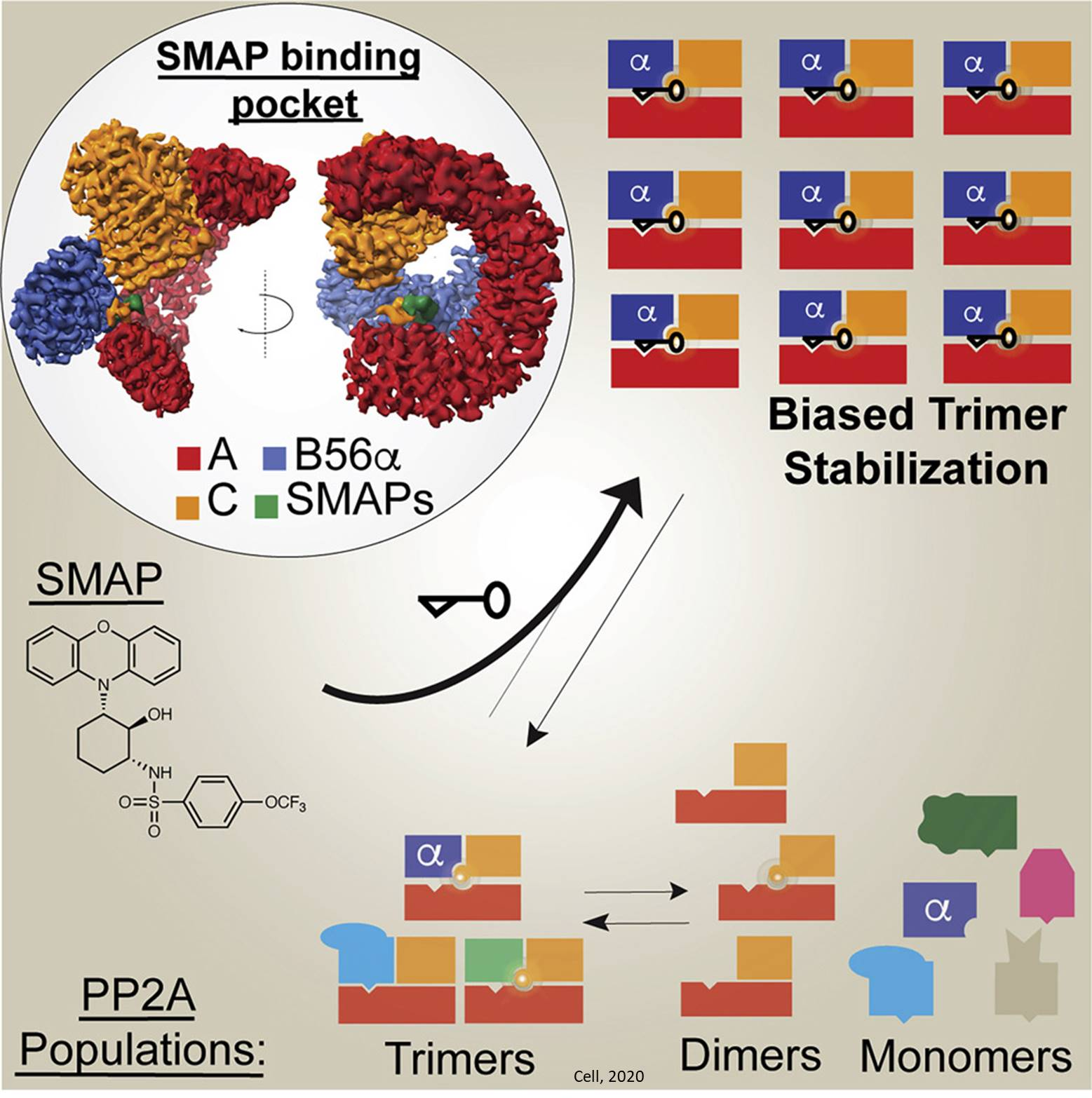 Stabilizing protein phosphatases to target cancer