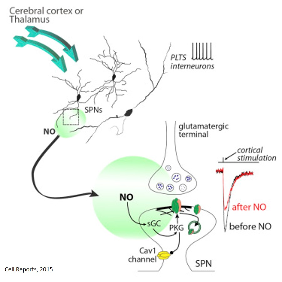 Interneuronal Nitric Oxide Signaling Mediates Post-synaptic Long-Term Depression of Striatal Glutamatergic Synapses