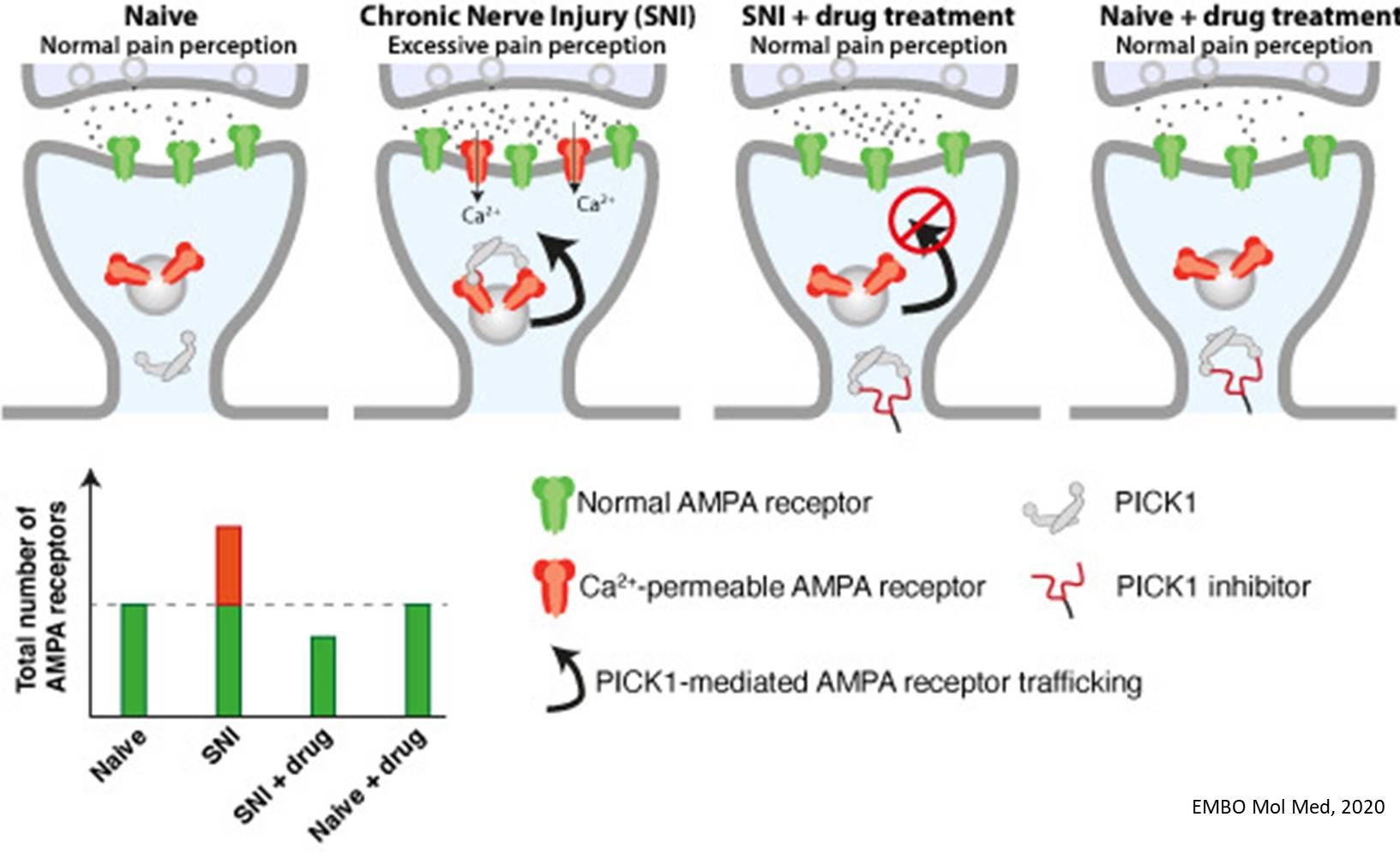 Potential drug for the treatment of chronic pain