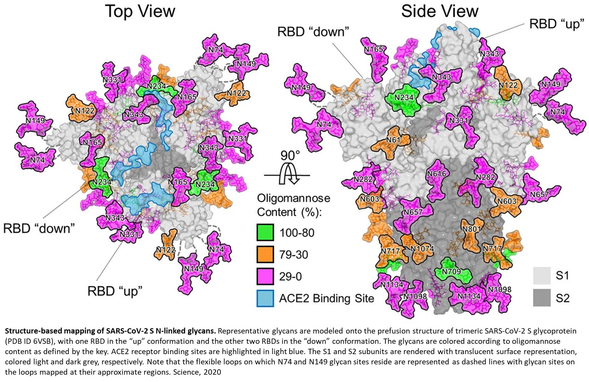 SARS-CoV-2 surface glycans mapped!