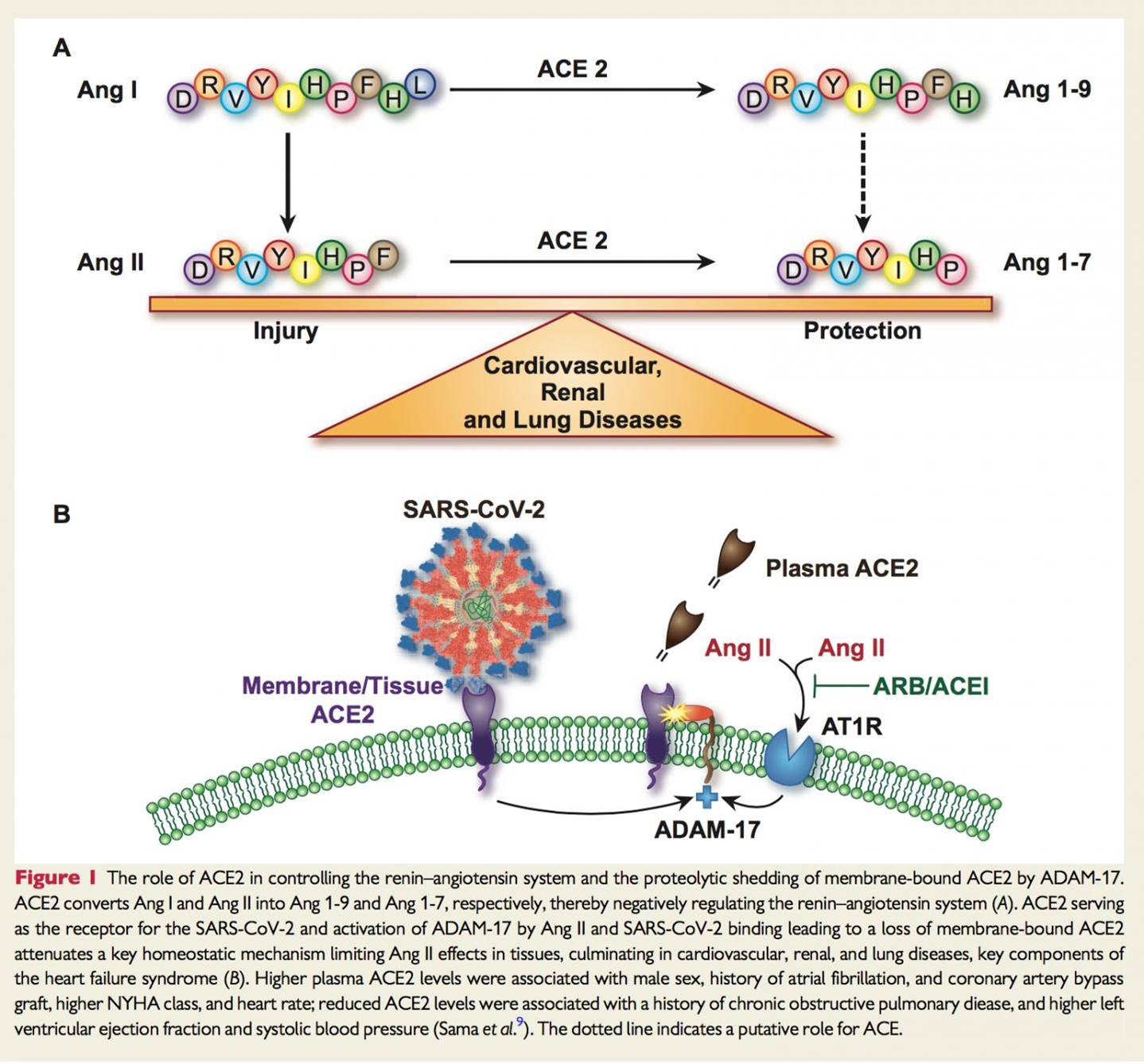 ACE2 is higher in mens blood and may help COVID-19 infect cells