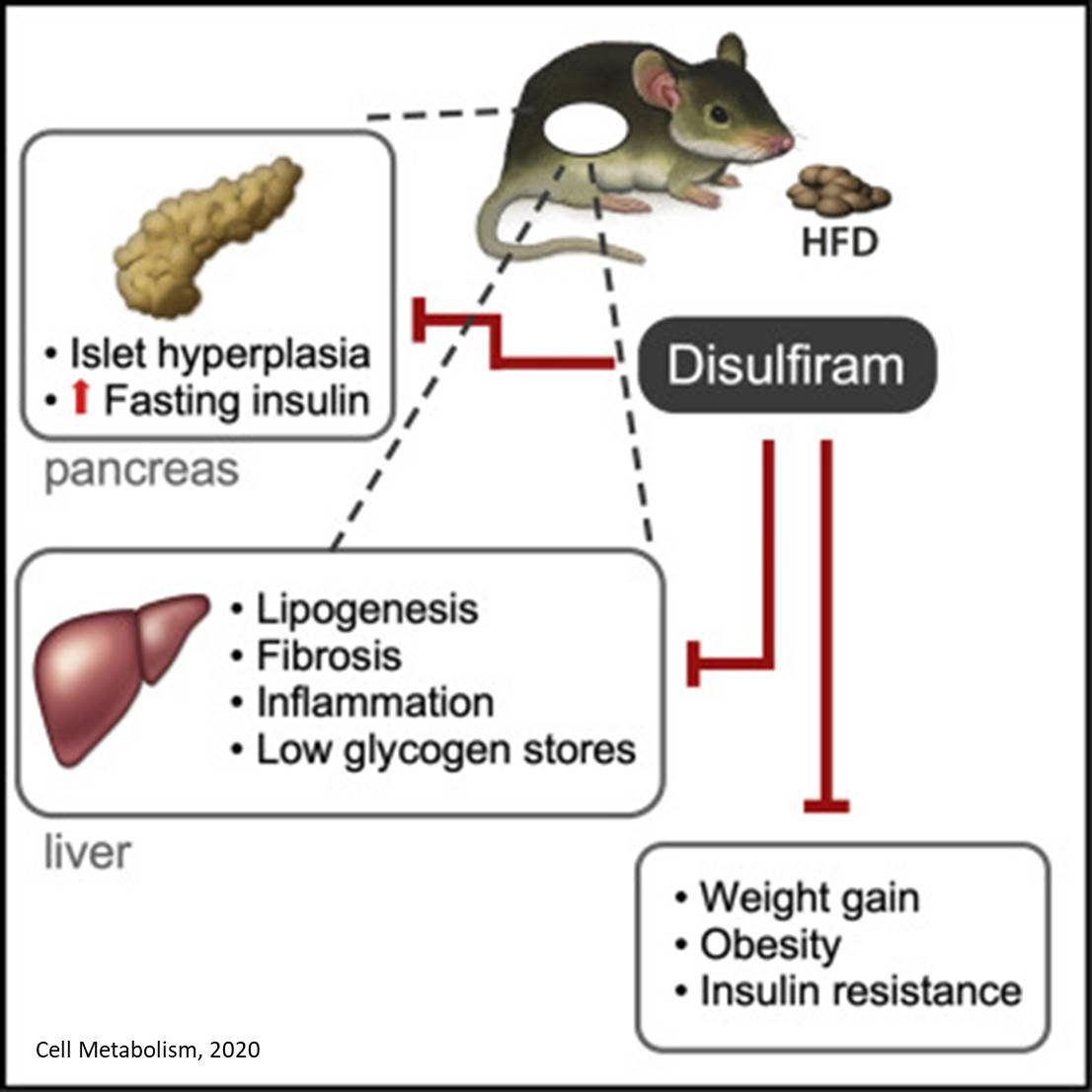 Alcohol treatment drug disulfiram helps obese mice lose weight, improve metabolic function