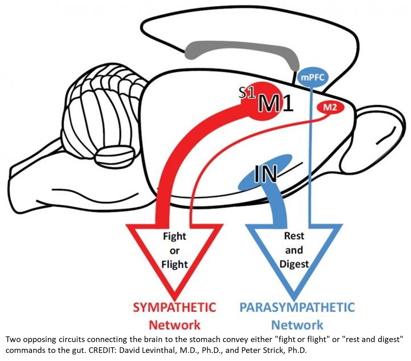 Multiple areas of the cerebral cortex influence the stomach