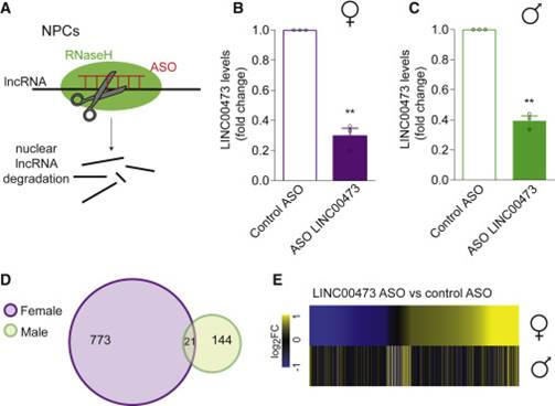 Increased Susceptibility of Females to Depression is Linked to Long Non-coding RNAs