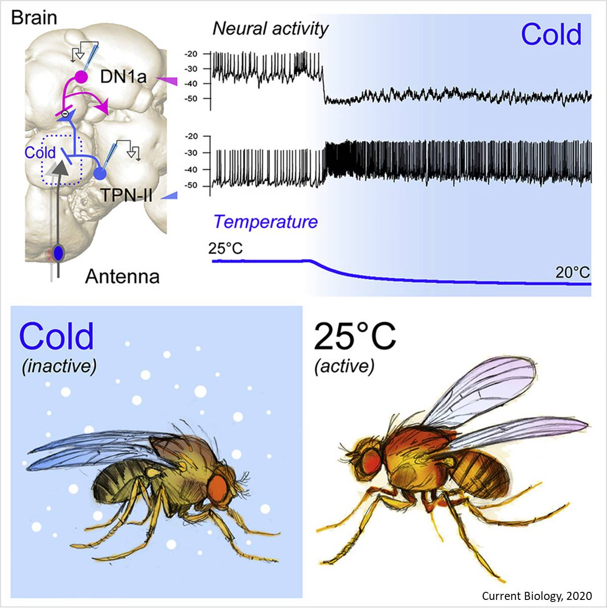 Why it's so hard to wake up on a cold winter's morning - cold circuitry in brain identified!