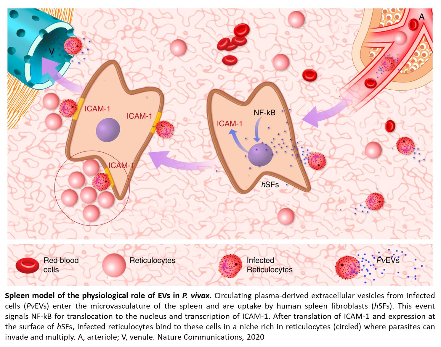Role of extracellular vesicles in the pathology of malaria vivax