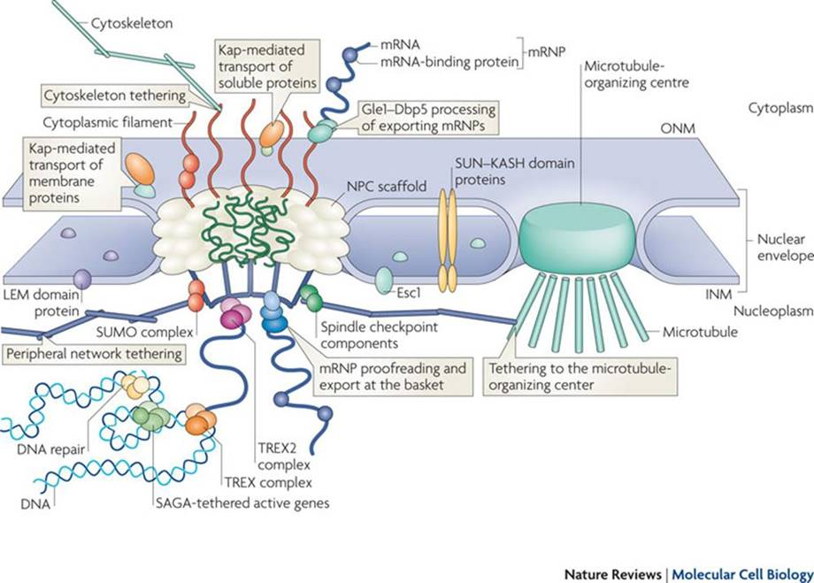Nuclear transport machinery is compromised in ALS
