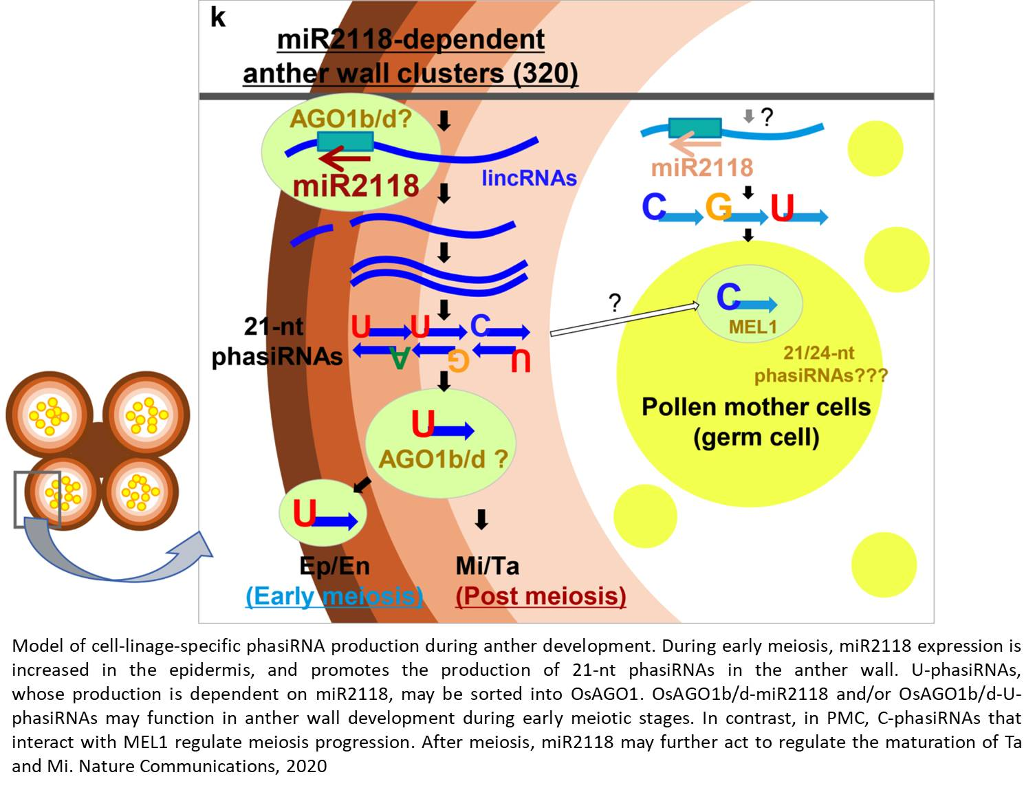MicroRNA's  role in rice reproduction