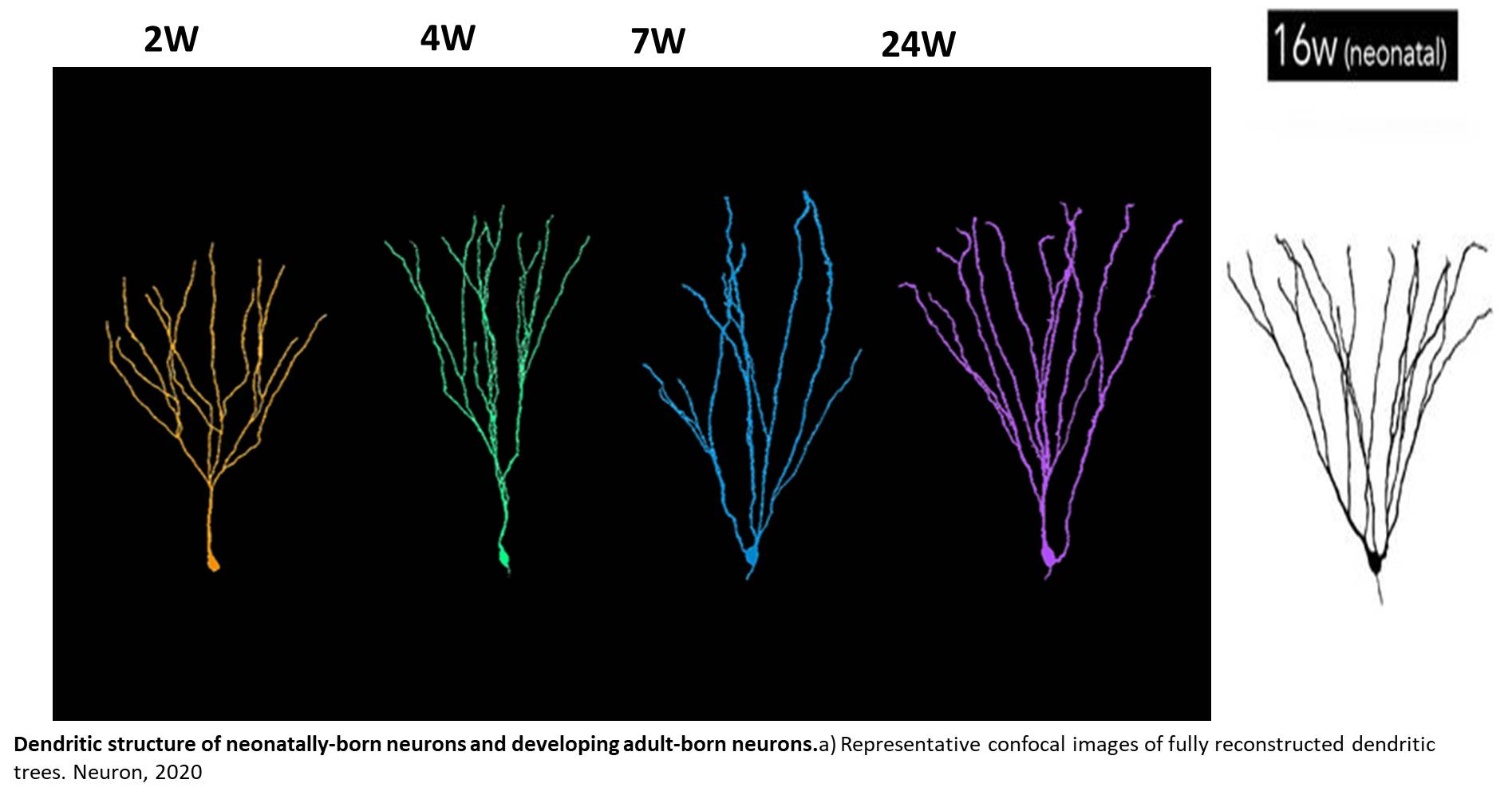 Neurons born in the adult grow more than their infancy-born counterparts