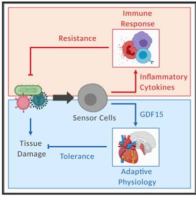 Obesity hormone GDF15 is a risk factor for sepsis