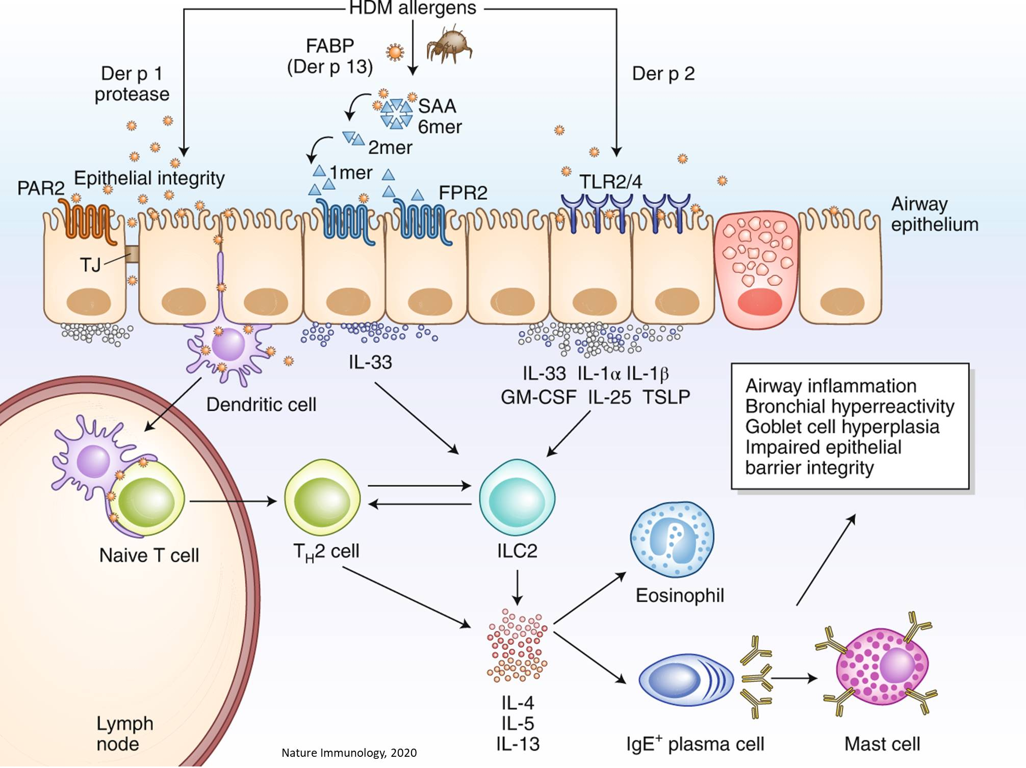 A new allergy signaling pathway identified!