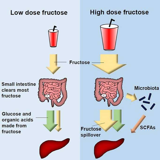 How small intestine shields the liver from fructose-induced damage