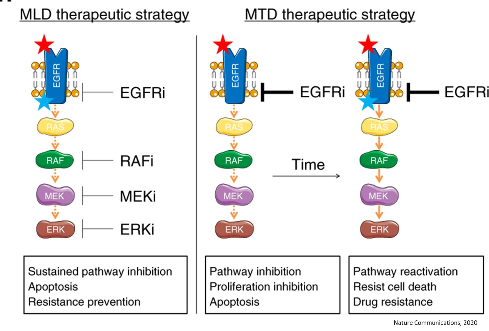 Treating EGFR inhibitor resistant lung tumors with low does of 4 drugs