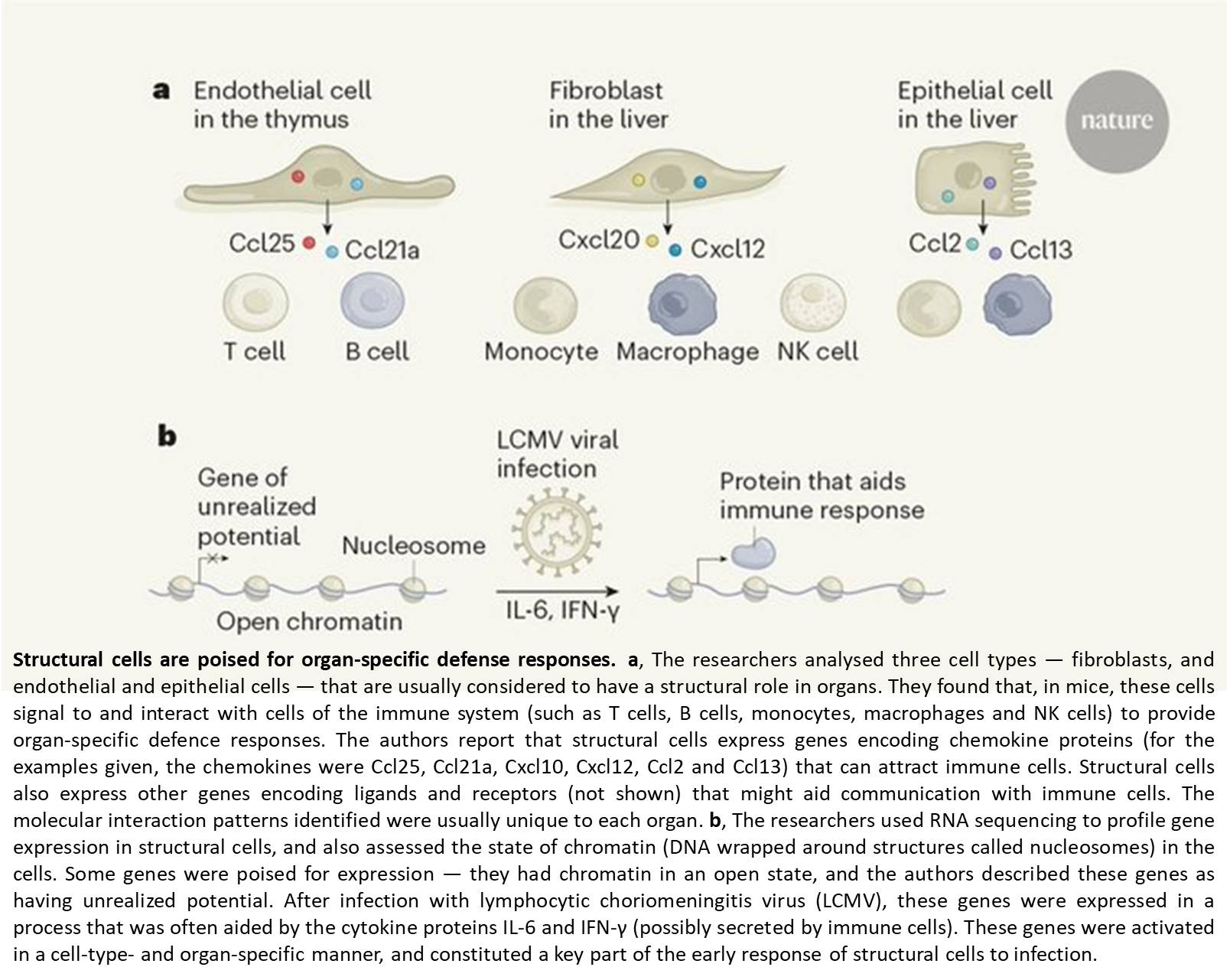 Structural cells of the body control immune function