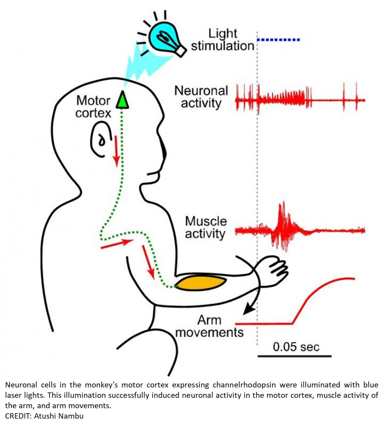 Optogenetic stimulation of the motor cortex successfully induced arm movements in monkeys