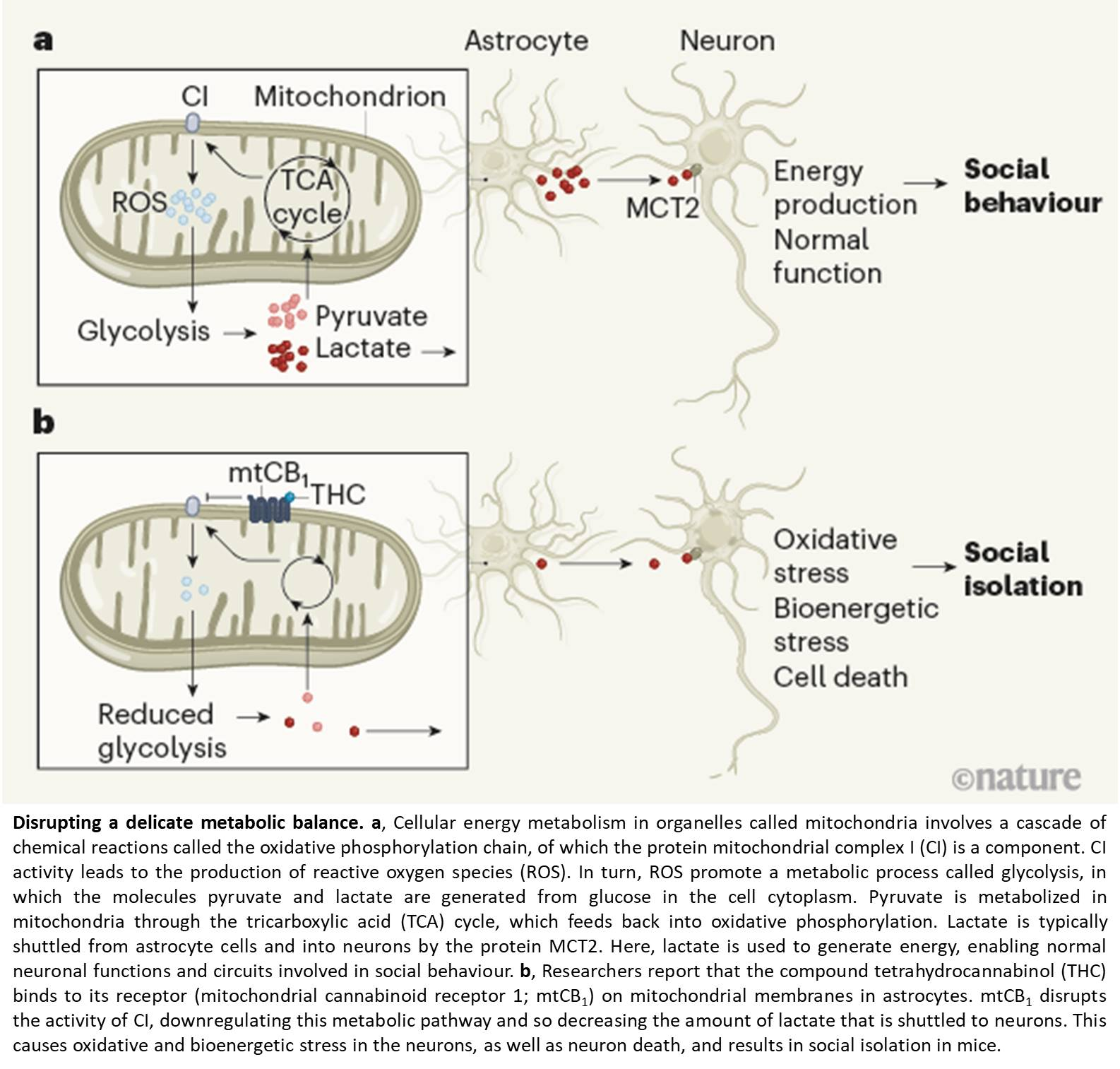 Disruption in astrocyte mitochondrial glucose metabolism linked to altered social behavior in cannabinoid use